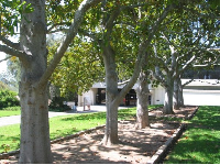 Trees outside the library.