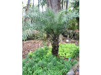 A date palm and some herbs below it.