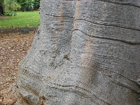 The Baobab Tree has such lovely lines on its trunk.