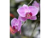 A purple orchid.