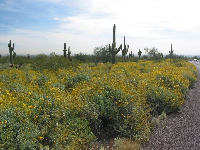 View as you enter White Tank Mountain Park. Lots of yellow brittle bush and tall saguaro cactus!