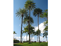 The abundance of palms that shade the huge lawn by the sea at the Hale Koa.