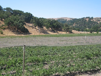 Rows upon rows of blueberry bushes, under netting, with oak-covered hills behind.