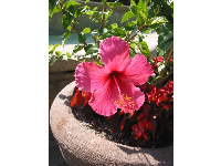 Potted hibiscus in the courtyard.
