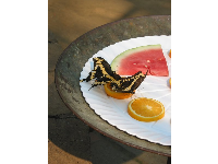 Summer Butterflies Alive exhibit- Tiger Swallowtail butterflies tasting an orange slice.