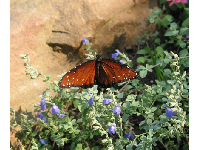 Butterfly with sandstone rock behind and wildflowers.