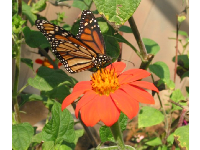 Monarch butterfly on a Mexican Sunflower.