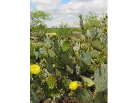 Cactus blooms, a pretty feature of the landscape that could lure in the unknowing...