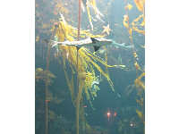 A shark glides by in the Kelp Forest tank.