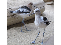 Sea birds with long beaks that tilt up at the end! They stand right beside you at the exhibit and kids love it.