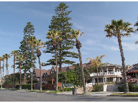 Norfolk pines and mansions along Ocean Blvd.