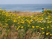 Flowers in abundance at Sunset Cliffs Natural Park.