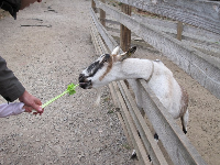 Little hand and big hand feeding a goat.