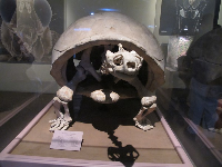 Skeleton of a Galapagos Turtle, in the Discovery Center.