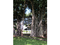 Gorgeous banyan tree near the palace.