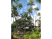 Coconut trees stretch to the sky in the Hawaiian garden. It makes you not want to leave Hawaii!
