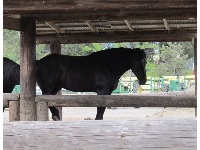 Percheron draft horse.