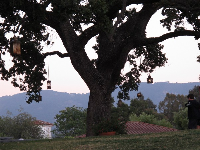 Oak tree with lanterns in the evening near Oak Grill.