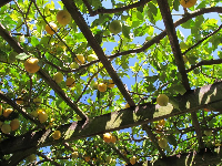 The lemon arbor- this is glorious! Over a hundred fat yellow lemons hanging from the blue sky!