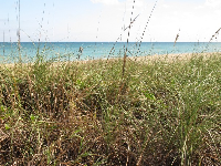 Sea oats and blue-green water.