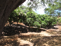 Kiawe tree and an abundance of plumeria trees, at the entrance.