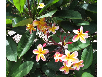 I love the shape of these plumeria flowers!