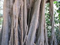 Banyan tree by the horse stables.