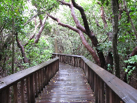 Boardwalk to the observation tower. How amazing is this jungle! These are the Gumbo Limbo trees the center is named for.