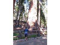 Looking at the trunk of a giant Sequoia.