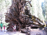 Posing for a photo in front of a fallen Sequoia tree.