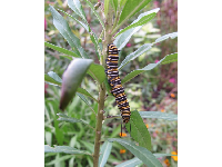 Yellow and black striped caterpillar in the butterfly garden.