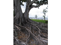 Mystical roots of the Mysore Fig.