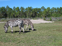 Grant's Zebra from East African plains.