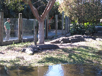 Alligators- these guys are huge! And staring at your right through the glass!