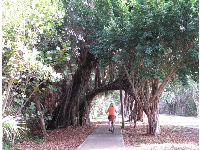 Banyan roots form a bridge to bike under.