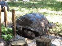 The Aldabra Tortoise gets a snack during a zookeeper talk.
