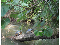 Turtles climb up a log in a jungle paradise.