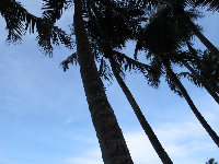 Blissful coconut trees galore!