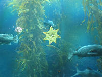 The Kelp Forest, and yellow starfish.