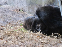 Napping gorilla, seen up close by the glass, on the Pangani Forest trail.