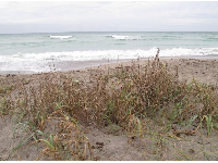 Grasses on the dunes.