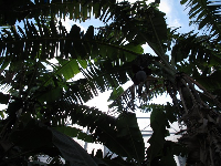 Banana trees silhouetted.