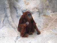 The orangutan. She was kind of over her routine...a little sad.