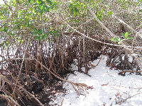 Mangrove trees provide a shady, enclosed place for kids to play imagination games.