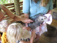 Touching an Opossum.