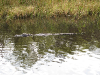 Alligator cruising along.