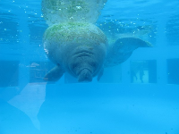 Manatee tank- underwater view. It's too small for the poor guys.