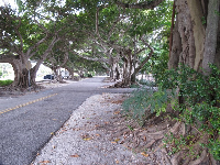 Banyan trees lining the road near the parking lot.