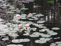 Lily pads with pale pink flowers.