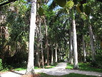 Path through royal palm grove.